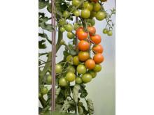 55743 Spaljétorn för tomater