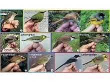 """Representanter för sju närbesläktade fågelfamiljer, som på engelska kallas """"babblers""""."""