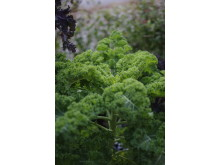 Grönkål, 'Westlandse Winter'