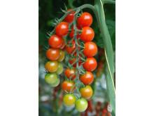 Tomater på planta