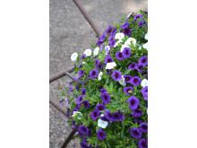 Småpetunia i olika nyanser av blått