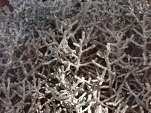 Närbild på silvergirland (Leucophyta brownii)