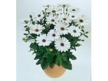Stjärnöga Osteospermum ecklonis Flower Power White