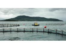 KRAV-märkt laxodling är bättre för miljön och fisken.