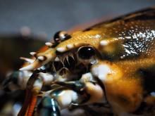 Calicofärgad hummer foto Roger Jansson