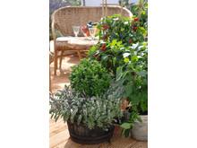 Kryddväxter, tomat och chili på terrassen