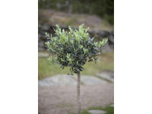 Olivträd miljöbild