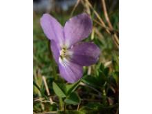 Vandring: Vårtecken med museets jourhavande biolog (buskviol)