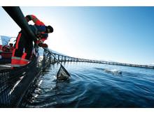 Norwegische Lachse werden in schonend und langsam in der Natur gezüchtet. Erst nach drei Jahren sind sie fertig zum Verzehr.
