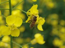 Pollinerande bi i raps !