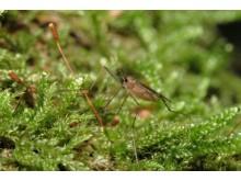 Gallmyggor artbild