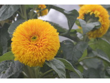Solros 'Double Sunking'