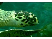 Hawksbill skilpadde - Tobago