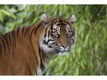 Tiger i Parken Zoo