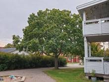 Äkta kastanj på Hovshaga. Vinnare av Växjö Trädpris 2019, kategori exotiskt träd.
