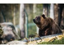 Grizzlybjörn_janko-ferlic-653772-unsplash