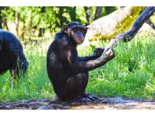 Schimpansen Manda
