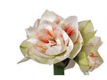 Lucka nr 6 - Dubbelblommande Amaryllis i en Blomstrande Julkalender