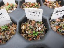 Backtrav groddplanta