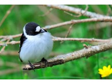 Male collared flycatcher