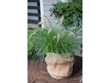 Pennisetum sataceum 'Green Fountain'