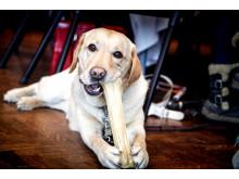 Snövit - ledarhund till Maja Reichard