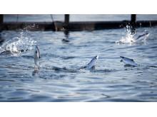 700x394 fisk som hopper