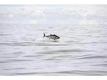 Hoppande tonfisk