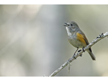 EOS 90D_MARKUS_VARESVUO_SAMPLE_Red-Flanked Bluetail Kuhmo_0160_WEB_ONLY[1]