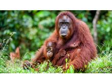 Orangutanger, Borneo