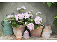 Pelargonium ´Picotee Pink´ på din uteplats