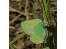 Vandring: Vårtecken med museet jourhavande biolog (grönsnabbvinge)