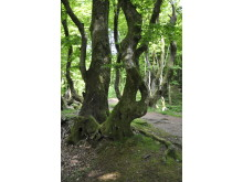 Troldeskoven - Rold Skov