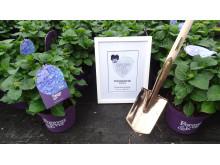Forever&Evers trädgårdshortensia vinner pris som bästa planta 2012