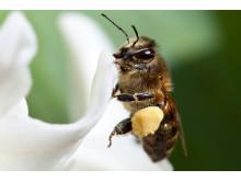 Narcisser är bra för bin på våren.