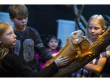 Leguaner på Kungsbyn Djurpark