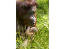 Orangutangungen Brutus i Borås Djurpark