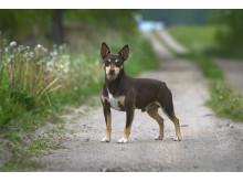 Rat terrier – ny ras i Sverige 2017