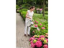 Trädgårdshortensian Forever&Ever - perenn som klarar kalla klimat