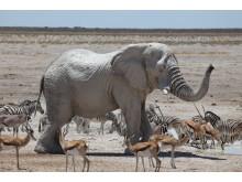 Namibias djurliv
