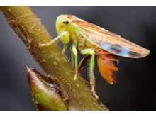Dvärgstrit. I gruppen insekter som inte har puppstadium finns 3 300 arter i Sverige.
