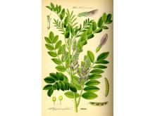 Lakritsutställning - Botanisk bild