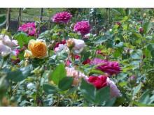Rosen in der Bioland Rosenschule