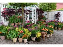 Tulpaner och vårlök i kruka