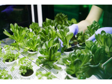 Sallad odlad i Ingka-koncernens globala kontor 3
