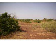 Växtligheten återvänder efter den stora torkan i Sahel