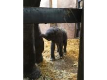 Borås Djurparks nyfödda elefantkalv i stora svårigheter