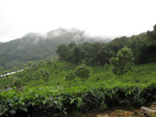 Te-plantage i Indien