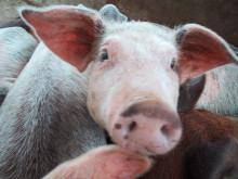 En gris till en familj i Indonesien - 280 kr
