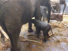 Ytterligare en elefantfödsel i Borås Djurpark